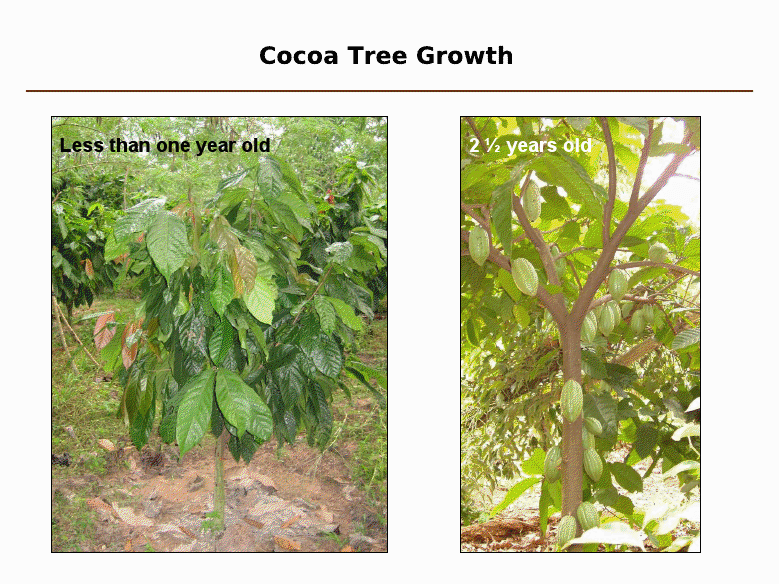cocoa growth